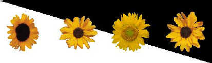 sunflowers.jpg (17126 bytes)